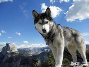 哈士奇怀孕吃什么比较好?应该怎么喂养呢-狗狗品种